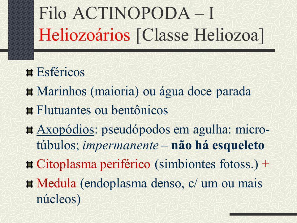 Filo ACTINOPODA – I Heliozoários [Classe Heliozoa]